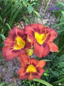 Perennial daylily garden by The Plant Lady